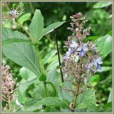CLERODENDRON PHLOMIDES