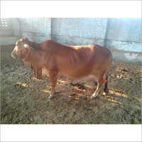 Sahiwal Cows Supplier In Haryana