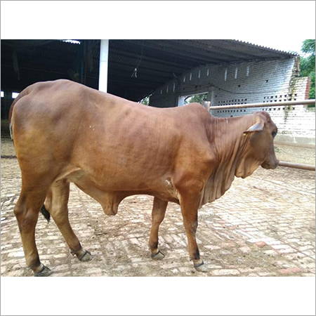 Pure Sahiwal Cow Breed