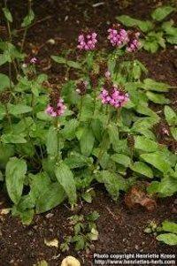 Grandiflora Leaf