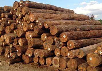 Pine wood jindal
