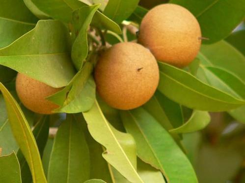 Sapota fruit