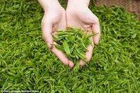 White Tea long leaves