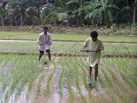 Rice Cone Weeder