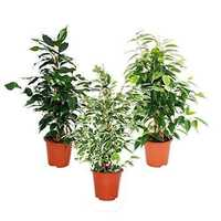 Ficus Benjamina Leaves Powder