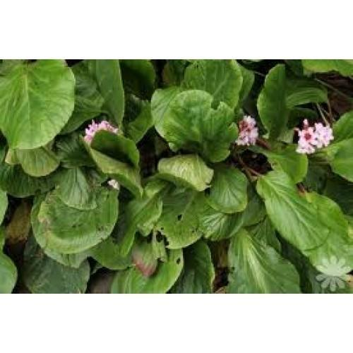 Pashanbhed - Bergenia Ligulata Powder