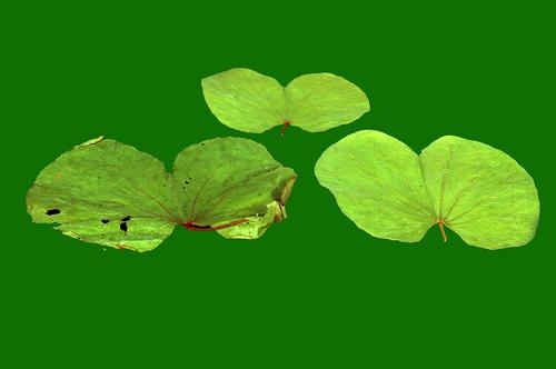 Bahunia Leaf