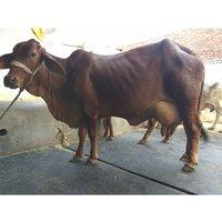 Sahiwal Cow Breeder