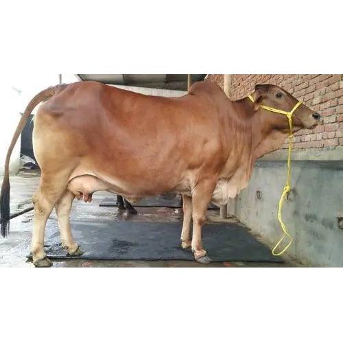 High Yield Brown Sahiwal Cow