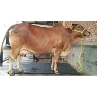 High Yield Brown Sahiwal Cow