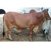 High Yield Sahiwal Bull