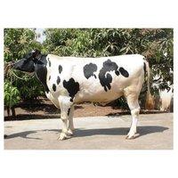 Holstein Friesian Bull
