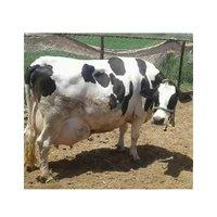 original Hf Cow