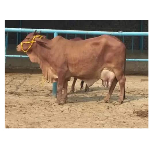 Pure Breed Sahiwal Cow