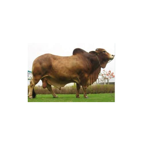 Sahiwal Breed Bull
