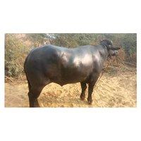 Black Murrah Bull