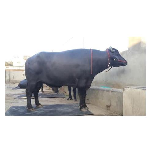 Dairy Murrah Bull