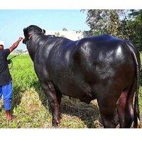 Pure Murrah Bull