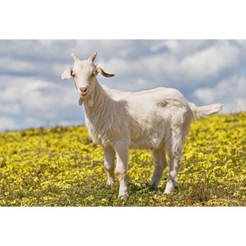 Livestock Goat