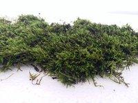 Sphagnum Moss Long Fiber Sphagnum Moss