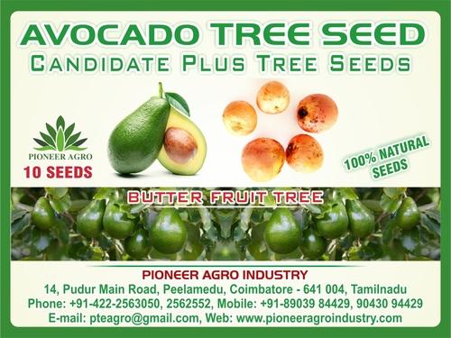 Avocado Fruit seeds Butter Fruit Seeds 10 seeds