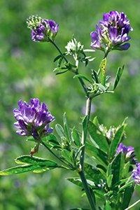 Alfalfa Seeds Medicago Sativa / Luceme Grass Seeds Kuthiraimasal Grass Seeds