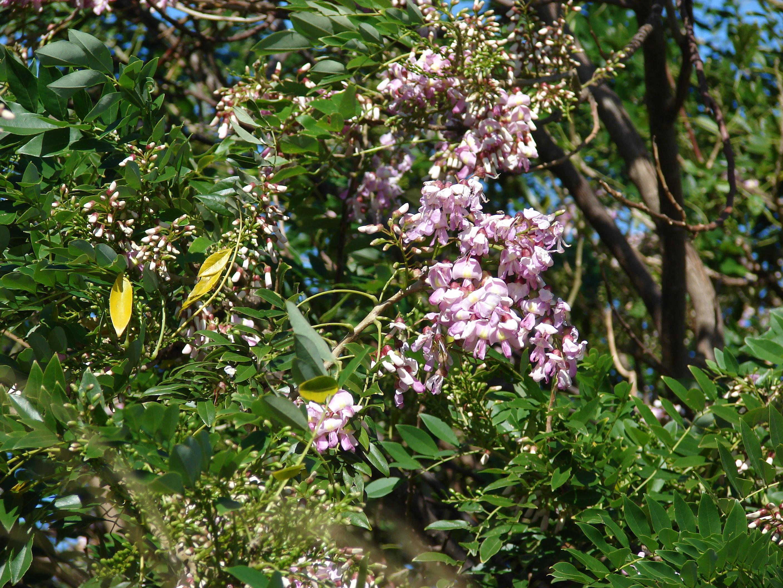 Gliricidia Sepium Tree Seeds 500g