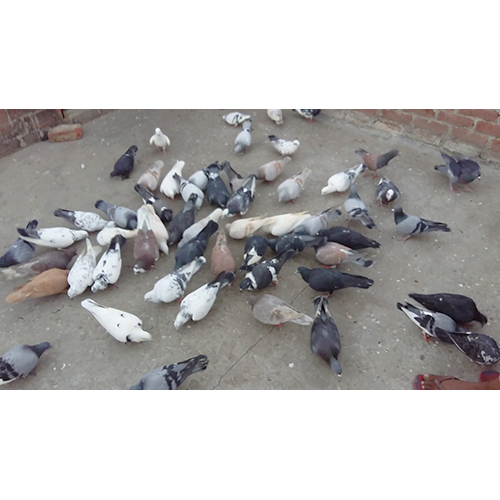 Tiller Pigeon Peas