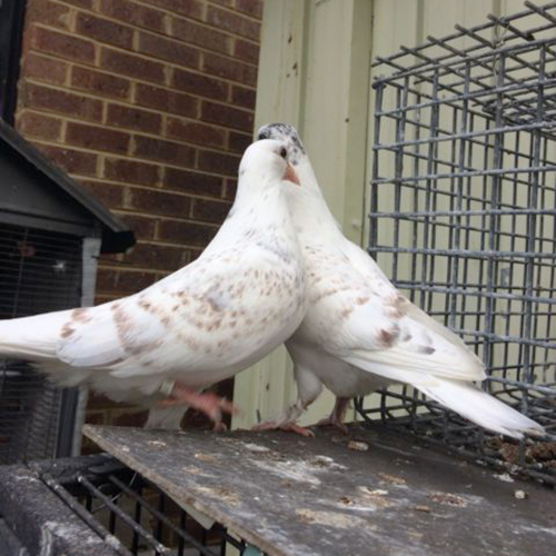 White Pigeons Peas