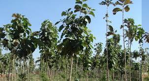 Teak Wood Plants