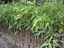 Agar Wood Plants
