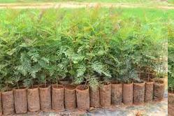 Silver Wood Plants