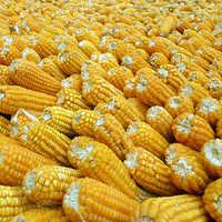 Fresh Baby Corns