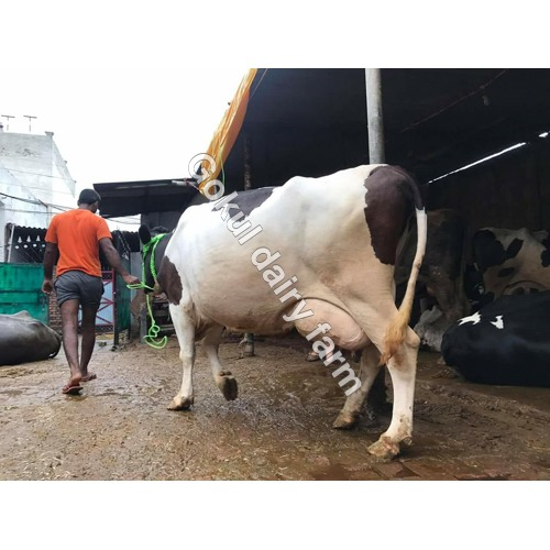 Hf Cow In Karnal, Hf Cow Dealers & Traders In Karnal, Haryana