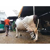 HF Dairy Cow