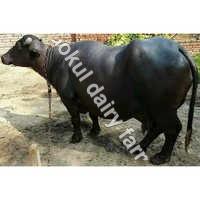 Murrah Black Buffalo in Karnal