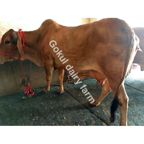 High Milking Sahiwal Cow