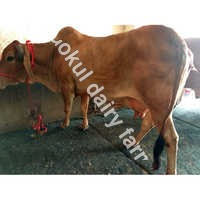High Milking Sahiwal Cow