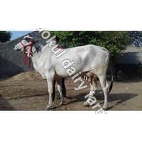 Tharparkar Dairy Cow