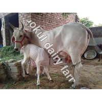 High Yeild Tharparkar Cow