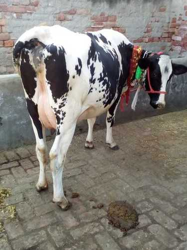 cow supplier in haryana