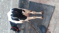 Pregnent Hf cow 1st lactition in karnal