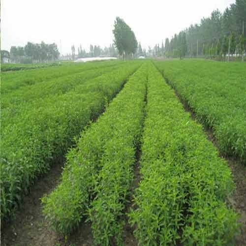 Stevia Cultivation Consultancy Service