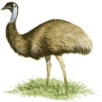 Emu Essential Oil