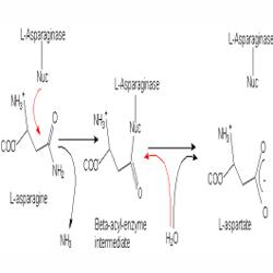 L.Asparaginase