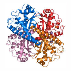 Protein Enzymes