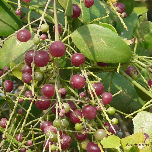 Miswak Seed Oil