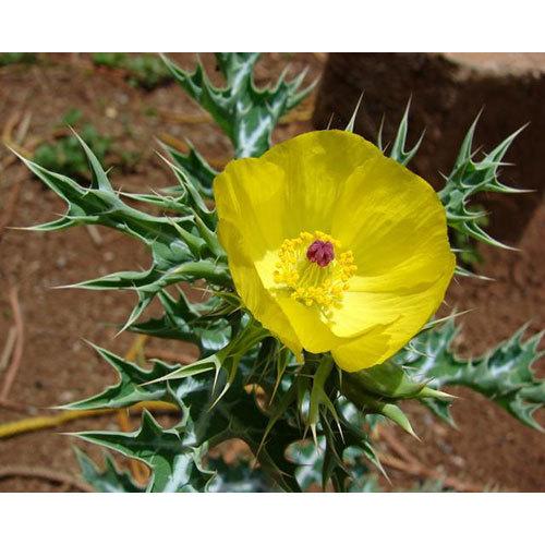 Satyanashi Seed Oil