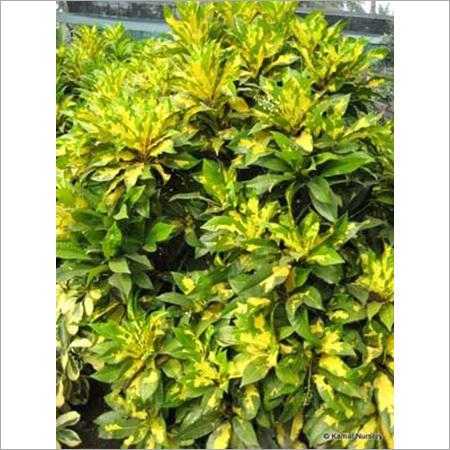 Croton Plants