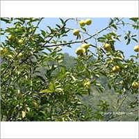 Lime Mosambi Plant